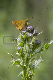 Small Skipper ( Thymelicus sylvestris )