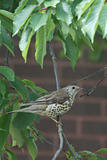 Song Thrush ( Turdus philomelos )