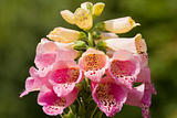 Foxglove