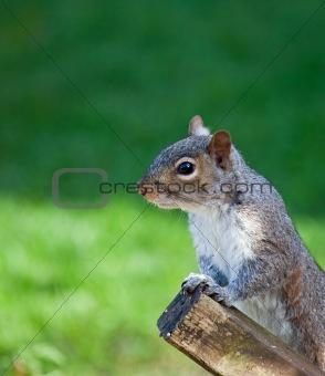 Grey Squirrel head shot