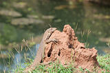 wild Varanus on termitary with water on background
