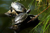 Trachemys scripta elegans