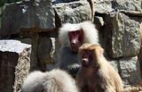 Hamadryas baboon couple