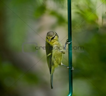 Blue Tit fledgling clinging