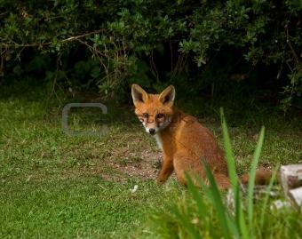 Fox Cub sitting