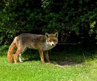 Old Blind Fox
