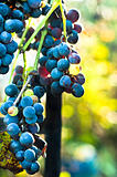 Blue grape on blurry background