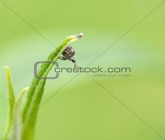 Cionus hortulanus weevil