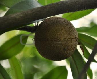 A Sapodilla Plant