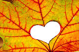 Autumn leaf with a hole in shape of heart