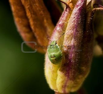 Green Shield Bug Nymph