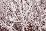 white frost covered branches