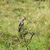 Common Cuckoo juvenile