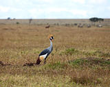 Grey Crowned Crane on the Masai Mara