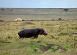 Hippopotamus on the Masai Mara