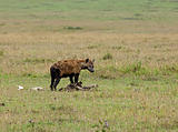Spotted Hyena on carcase