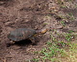 Terrapin in Kenya