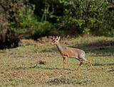 Kirk's dik dik on Masai Mara
