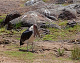Marabou Stork in Kenya