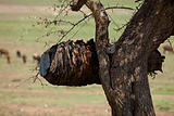 Masai Beehive