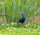 Purple Swamphen in Kenya