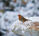 Robin on feeder in snow