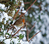 Robin on hedge in snow
