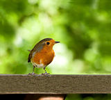 European Robin on table