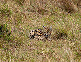Serval on the Masai Mara