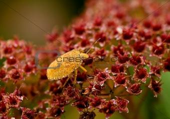 Green Shield Bug yellow morph