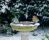 Song Thrush on bird bath