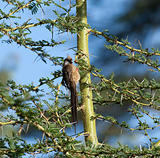 Speckled Mousebird in Kenya