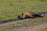 Spotted Hyena relaxing