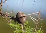 Swollen Thorn Acacia