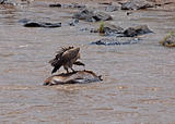 Vulture on carcase in the Mara River