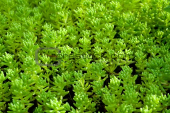 Sedum, moss shoots close-up