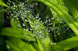 dew drops on the web 