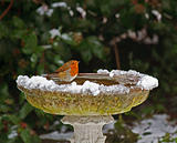 Robin on bird bath in snow