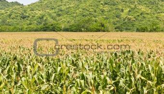 Agricultural landscape of corn