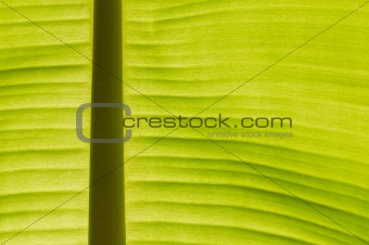 Backlit fresh green banana leaf