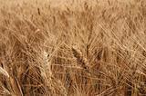 ripe rye field