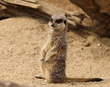Young Meerkat