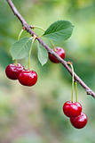 Red sweet cherries on a branch