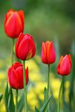 Red tulips vertical