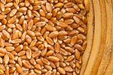 Wheat Triticum aestivum