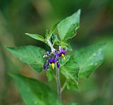 Bittersweet wild flower