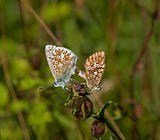 Chalkhill Blue Butterflies Mating