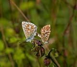 Chalkhill Blue Butterflies Mating
