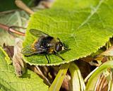 Hoverfly Volucella bombylans