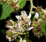 Longhorn Beetle on Bramble